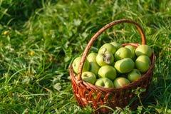 Большие корзины яблок на зеленой предпосылке сада Стоковые Изображения