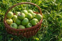 Большие корзины яблок на зеленой предпосылке сада Стоковая Фотография RF