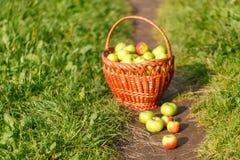 Большие корзины яблок на зеленой предпосылке сада Стоковые Фотографии RF