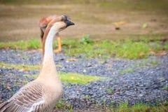 Большие коричневые китайские гусыни, одомашниванная форма гусыни лебедя Стоковые Изображения