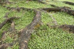 Большие корни дерева корни дерева на поле Стоковые Фото
