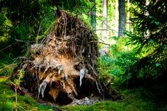 большие корни дерева пня переплели ветром в лесе Стоковое фото RF