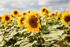Большие красивые желтые солнцецветы стоковые фотографии rf