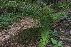 Большие, красивые и зеленые папоротники в лесе на всем пути к хате Kozya Stena Стоковые Изображения RF