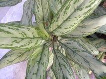 Большие листья белого и зеленого цвета завода диффенбахии Стоковое фото RF