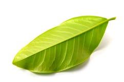 большие листья стоковая фотография rf