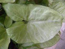 Большие лист белого и зеленого цвета завода Caladium Стоковое фото RF