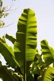 Большие лист джунглей стоковая фотография