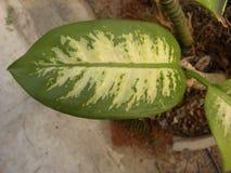 Большие лист желтого и зеленого цвета завода диффенбахии Стоковые Фотографии RF