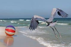 Большие мухы голубой цапли вниз с пляжа Флориды с шариком пляжа стоковая фотография