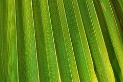 Большие нашивки Spiky лист пальмы в золотом пирофакеле Солнця Живой зеленый желтоватый цвет Ультрамодный тип Тропический путешест Стоковые Изображения