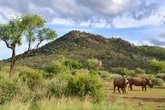 Большие носороги в запасе игры Pilansberg стоковая фотография rf