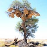 Большие общительные ткачи гнездятся в дереве camelthorn, национальном парке Kgalagadi Transfrontier, Южной Африке Стоковые Фотографии RF