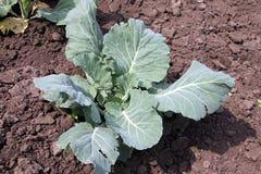 большие овощи головки зеленого цвета капусты Экологическая ферма стоковые фото