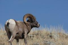 большие овцы горы рожочка Стоковые Фотографии RF