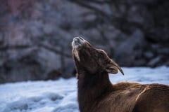 Большие овцы рожка кладя в снег Стоковые Изображения RF