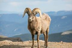 Большие овцы рожка с горными видами в предпосылке Стоковые Изображения