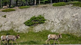 Большие овцы рожка, яшма, национальный парк, Альберта, Канада Стоковые Изображения RF