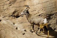 большие овцы рожочка пустыни Стоковые Изображения RF