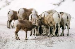 большие овцы рожочка табуна Стоковое фото RF
