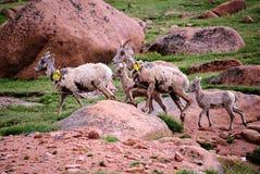 большие овцы рожочка Стоковые Изображения