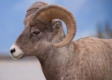 Большие овцы рожочка Стоковая Фотография RF