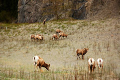 большие овцы рожочка стоковые фото