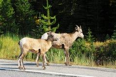 большие овцы дороги рожочка скрещивания Стоковая Фотография