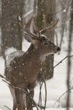 Большие олени самеца оленя в снежке Стоковое Изображение RF