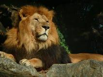 Большие остатки льва взрослого мужчины иллюстрация вектора
