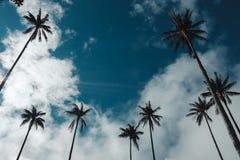 Большие пальмы между обнаруженными местонахождение горами и лесом в Colombie стоковая фотография