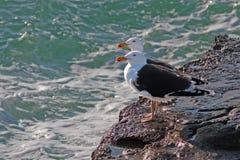 Большие поддерживаемые Черно чайки, Larus marinus, Великобритания Стоковые Изображения RF