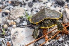 Большие покрашенные черепахи в берегах залива, Алабаме стоковое изображение rf