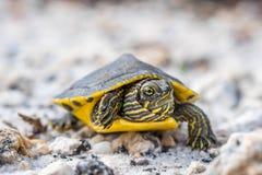 Большие покрашенные черепахи в берегах залива, Алабаме стоковые фото