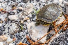 Большие покрашенные черепахи в берегах залива, Алабаме стоковое фото