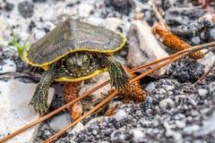Большие покрашенные черепахи в берегах залива, Алабаме стоковая фотография