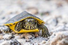 Большие покрашенные черепахи в берегах залива, Алабаме стоковые фотографии rf