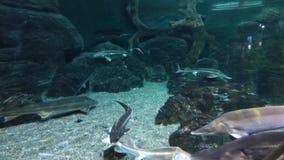Большие рыбы плавают в чисто воде среди утесов сток-видео