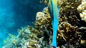 Большие рыбы попугая плавая около красивого кораллового рифа в замедленном движении акции видеоматериалы