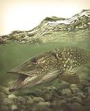 Большие рыбы северной щуки в чистой воде - удить тему стоковая фотография