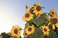 Большие солнцецветы в саде стоковые изображения
