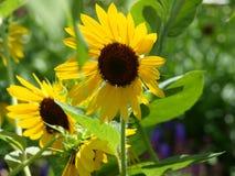 Большие солнцецветы преобладают пестротканый сад стоковые фотографии rf