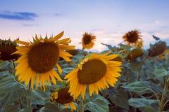 Большие солнцецветы цветут в поле лета последний выравниваться против неба захода солнца, после грозы, нежные пастельные цвета стоковые фотографии rf