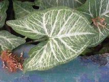 Большие темные ые-зелен и белые лист цвета завода Caladium Стоковая Фотография RF