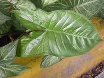 Большие темные ые-зелен лист цвета завода Caladium Стоковое Изображение