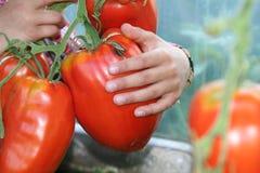 большие томаты Стоковые Фотографии RF