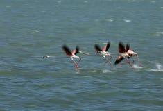 Большие фламинго летая, Бахрейн Съемки медленные штарки для того чтобы показать нерезкость движения Стоковые Фото