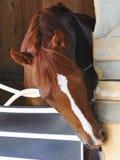Большие фото лошадиных скачек Fleetphoto стоковое изображение