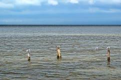 Большие чайки Чёрного моря в естественной среде обитания Стоковые Фотографии RF