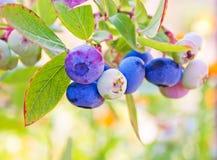 Большие ягоды голубики Стоковое Изображение